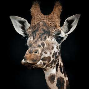 Giraffe by Chris Boulton - Animals Other Mammals ( giraffe, wildlife, africa, mammal, animal )