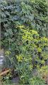 Photo: Păstârnac  (Pastinaca sativa) - de pe Calea Victoriei, Mr.1, zona Penny - 2017.08.14 -  Album div. - http://ana-maria-catalina.blogspot.ro/2017/05/plante-diverse-din-comert.html