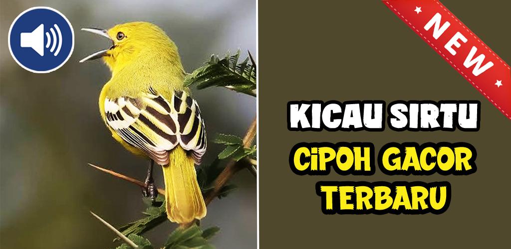 Download Kicau Sirtu Cipoh Gacor Terbaru Free For Android Kicau Sirtu Cipoh Gacor Terbaru Apk Download Steprimo Com