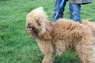 Photo: Fab! Murphy Mini Labradoodle's afrom in a gust of wind!