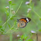 Danaus genetic 虎斑蝶