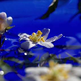 Spring flower in water by Eva Larsson - Flowers Flowers in the Wild ( spring flower water whiteflower blue nature art love nature )