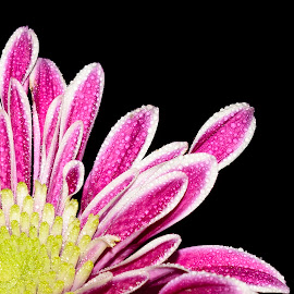 1/4 Flower   :) by Richard Booysen - Flowers Single Flower