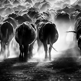 by Milanka Dimic - Black & White Animals ( nature · light · cows · animals · herd, black and white )