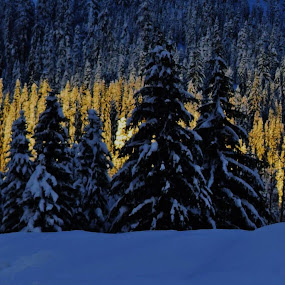 Peaceful Evergreens by Kathlene Moore - Landscapes Forests