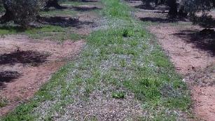 Cubierta vegetal en un cultivo de olivar.