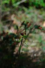 Photo: Caladenia lobata