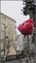 Photo: Trandafir (Rosa) - de pe Str. General Dragalina - 2018.01.13