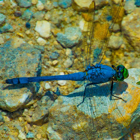 Dragonfly rocks by James Newberry - Animals Insects & Spiders ( wild, dragon fly, nature, outdoor, ground, rocks )