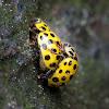 Twenty-two-spot Ladybird