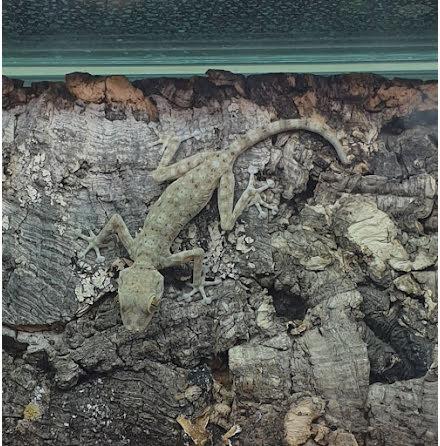Hasselquistgecko (Ptyodactylus hasselquistii)