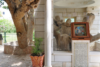 Photo: As of most relics, of the sycamore fig-tree in which Zacheus climbed there are more. This one is at the Greek Orthodox Monastery in Jericho.