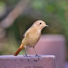 Daurian Redstart ♀ / खञ्जरी चराको प्रजाती