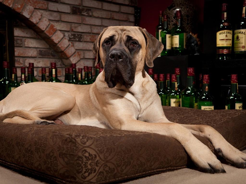 anglijskij-mastif-15-e1459006484121.jpg
