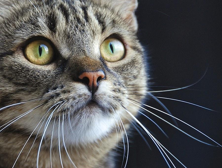 luna by Almasa Dalan - Animals - Cats Portraits ( cutest cats )