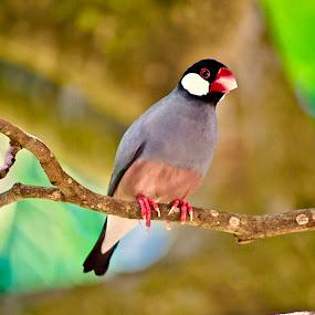 Java Sparrow-Maui, Hawaii by Doug Wean - Animals Birds ( hawaii, nature, java sparrow, wings, feathers, bird, tree, nature up close, nature and wildlife, sparrow, maui, wildlife,  )