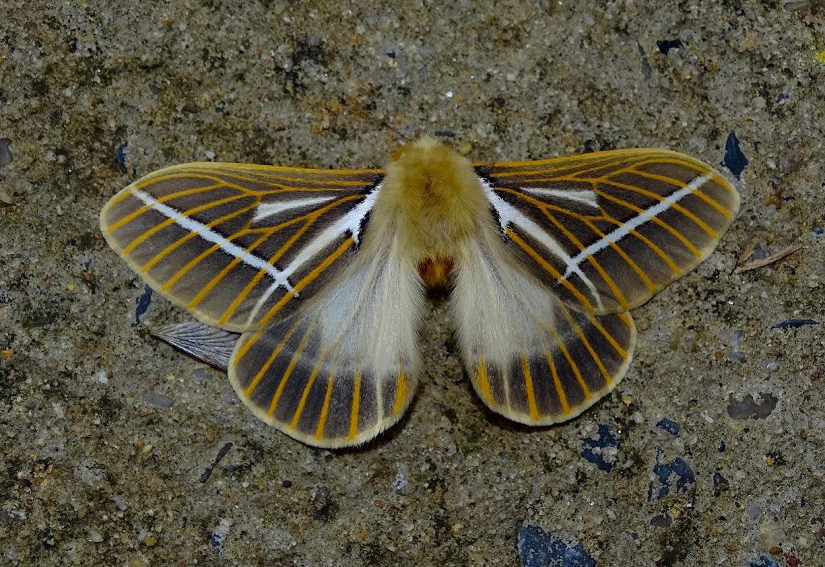 Kentroleuca albilinea