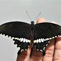 Common Mormon Swallowtail