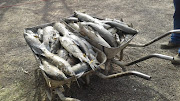 Fish are dying by the thousand owing to raw sewage flowing into the Vaal River.