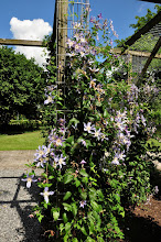Photo: Clematis 'Country Rose' habitus