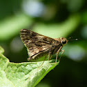 Marbled Grass Skipper