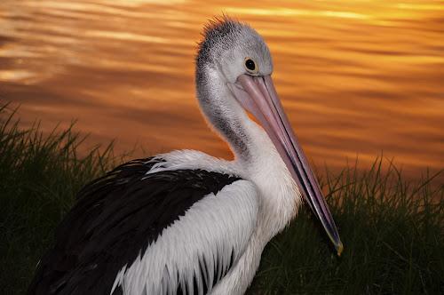 Pelican Sundown by Trish Beukers - Animals Birds