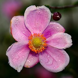 Anémone by Gérard CHATENET - Flowers Single Flower