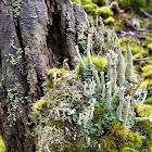 Common Powder Horn lichen