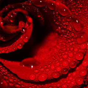 Red Wave by Artem Kevorkov - Nature Up Close Flowers - 2011-2013 ( water, pastel, rose, macro, drop, colors, drops, virgin, pink, untouched, flower )