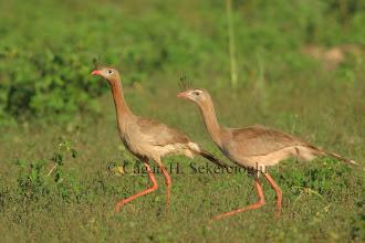 Photo: Red-legged Seriama