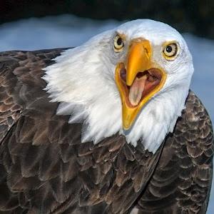 bald eagle-screetching.jpg