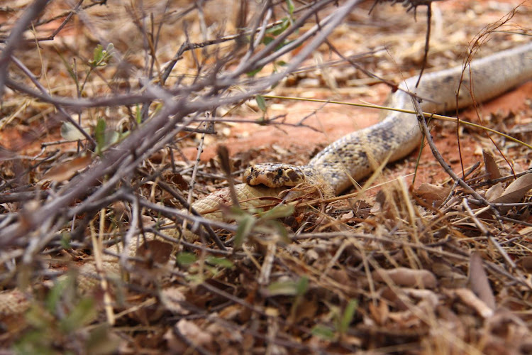 A male Cape cobra in the Kalahari consumes a smaller male' a display of cannibalism previously thought to be rare among the species.