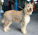 Photo: 2004 Viking du Caillou qui Bicque Prod M Mme Laurent Prop M Flament (Jeff de Stéphieci X Stone du Caillou qui Bicque) Pedigree: http://www.pawpeds.com/db/?p=bpi&a=p&id=413679&g=4