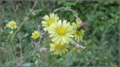 Photo: Susai (Sonchus arvensis) - din Turda, de pe Calea Victoriei, alee - 2018.07.20