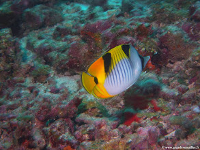 Photo: #012-Poisson-papillon faucille sur le site de One Palm Reef-Club Med Kani.