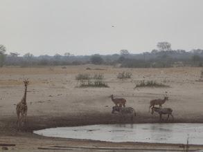 Photo: Zebras join the kudu