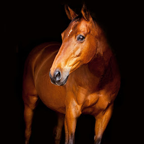 Portrait of Bright Bay Gelding  by Vicki Roebuck - Animals Horses ( equine photography, horse portrait, statue, bright bay, horse, gelding, light, darkness, shadows )