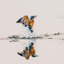 KINGFISHER by SUDIPTA  CHAKRABORTY - Animals Birds ( kingfisher, india, birds, bird photography, bird in flight )