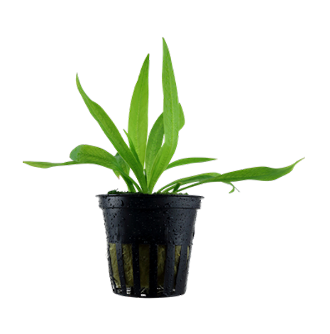 Helanthium Quadricostatus i kruka Tropica