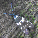 Chalcosiine Day-flying Moth