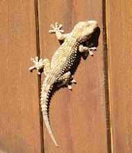 Photo: Le GECKO VERRUQUEUX , ce jour 19.09 - 14 h - sur mon portail intérieur ! Longueur 15 cm environ. Se chauffe au soleil .Il y avait deux petits autour mais pffft...  Hemidactylus turcicus est une espèce de geckos de la famille des Gekkonidae. Il est parfois appelé Gecko nocturne ou Hémidactyle verruqueux.Espèce protégée.