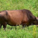 Cow (Cattle)