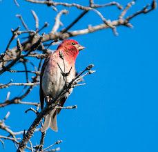 Photo: Purple Finch,Bidgoods Park