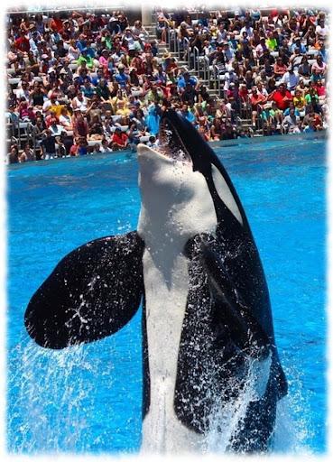 Orca Whales Wallpaper Pics Apk Download 2