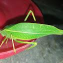 Broad-winged katydid