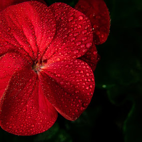 Red drop by Danny Charge - Flowers Single Flower ( red, wildflower, wildflowers, dark, wild, water, red flower, water drops,  )