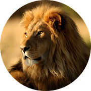 HD Lion Wallpapers for iPhone X,  Xs, Xr
