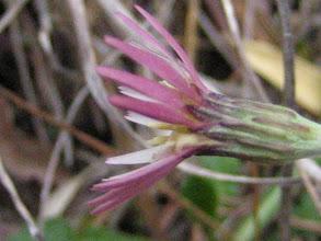 Photo: ムラサキタンポポ(別名のセンボンヤリは秋の姿からついたもの)。 花弁の裏側が紫色なのでこの名が付いたようです。