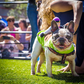 The Running of The Bulls (French Bulldogs that is) by David Kotsibie - Animals - Dogs Playing ( love, frenchie, petapalooza, bulldog, summer, races, puppy, smile, cute, dog, race )