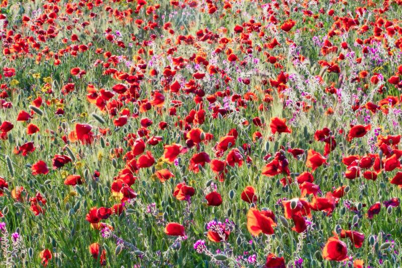 Tulips field di davide fantasia